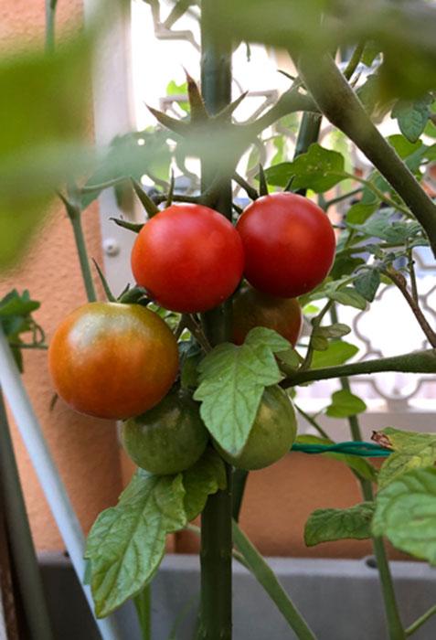 ミニトマトの写真