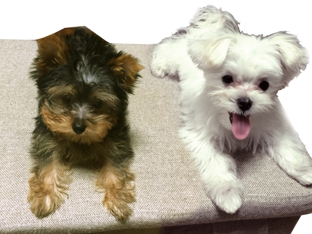 茶色と白色の並んだ犬