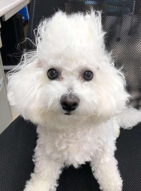 白いモフモフの犬が黒い椅子に座っている写真