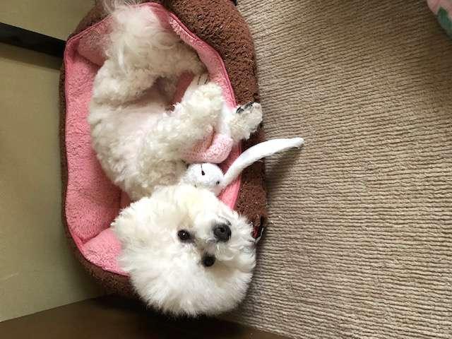 ペット用ベッドに横になっている白い犬