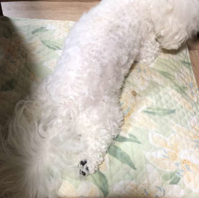 座布団の上で伸びた白い犬