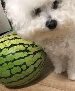 白いモフモフの犬の顔がスイカと並んで映っている写真