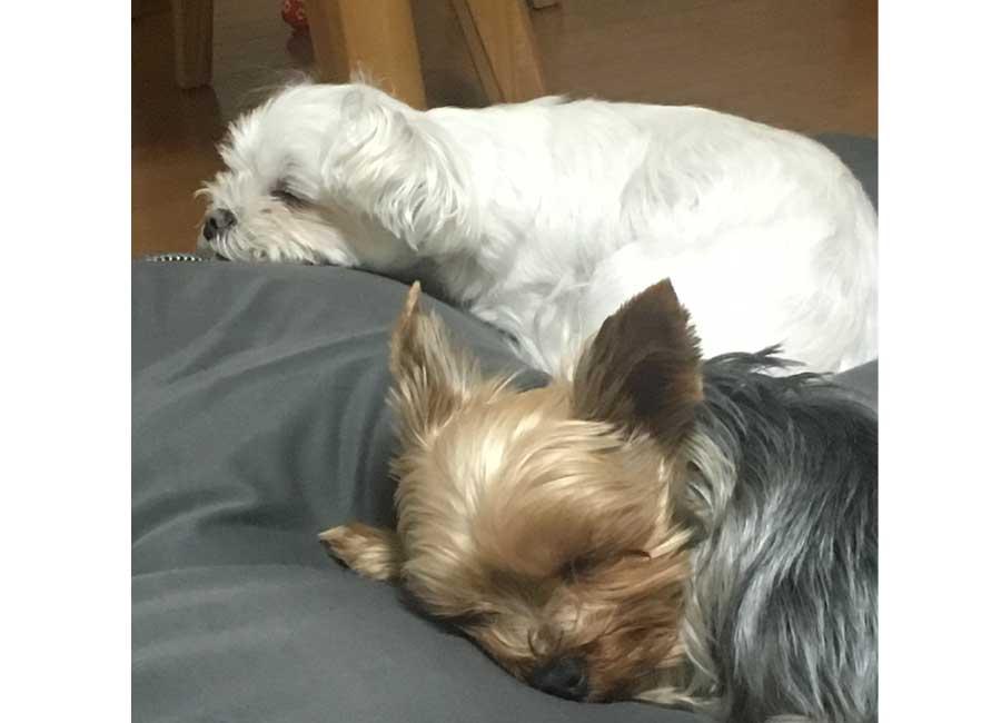 茶色と白色の並んで寝ている犬
